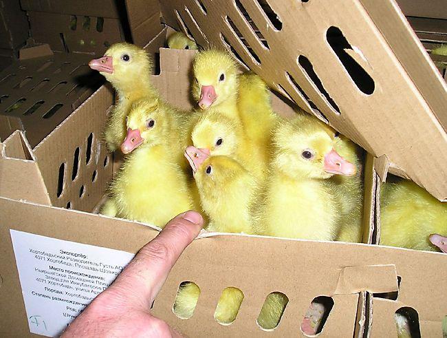 В процессе транспортировки птенцы могут заразиться