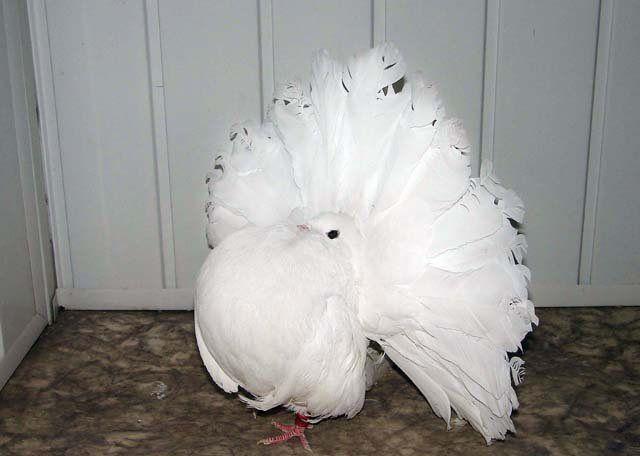 В хвосте этой птицы может быть более 50 перьев