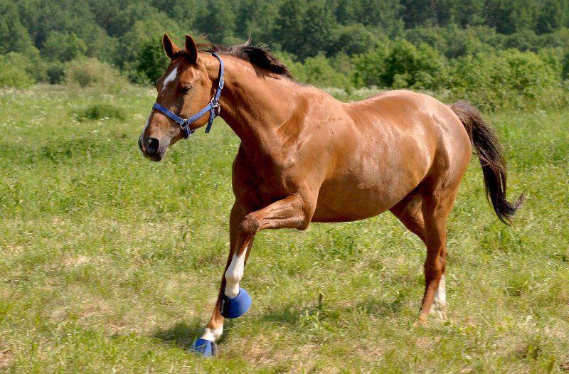 Ганноверская порода лошадей является одной из наиболее популярных представителей спортивной породы в мире