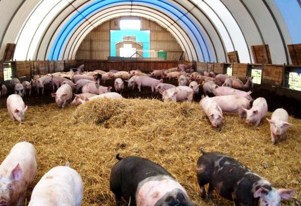 Глубокая подстилка для свиней
