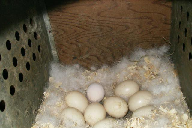 Гнездо мускусной утки с яйцами