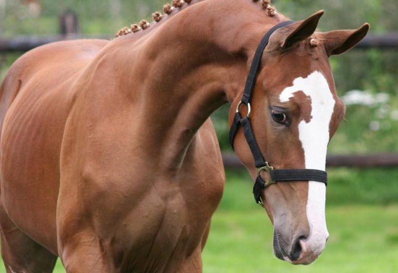 Голландская теплокровная лошадь, фото