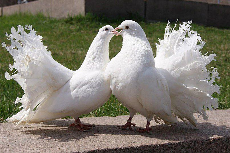 Голуби-павлины