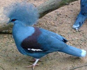 Голубохохлый венценосный голубь или другие крупные виды