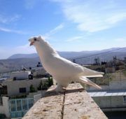 Голубь Такла на крыше