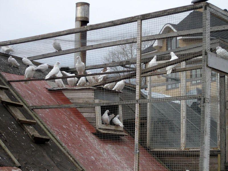 Голубятня — это строение для разведения и содержания голубей, которое играет в их жизни важную роль