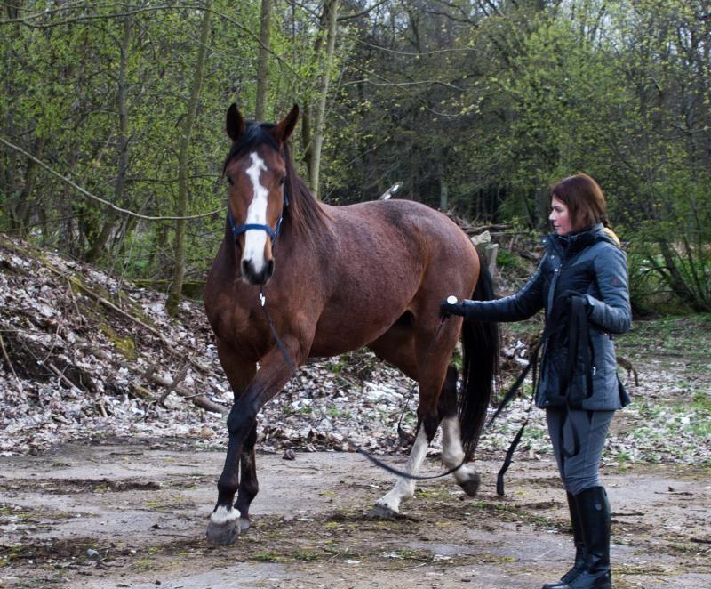 Голштинская лошадь очень сообразительная и спокойная, легко поддающиеся дрессировке
