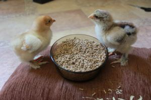 Гранулы корма для цыплят должны быть мелкими