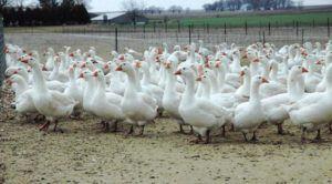 Гусиная ферма на 500 голов