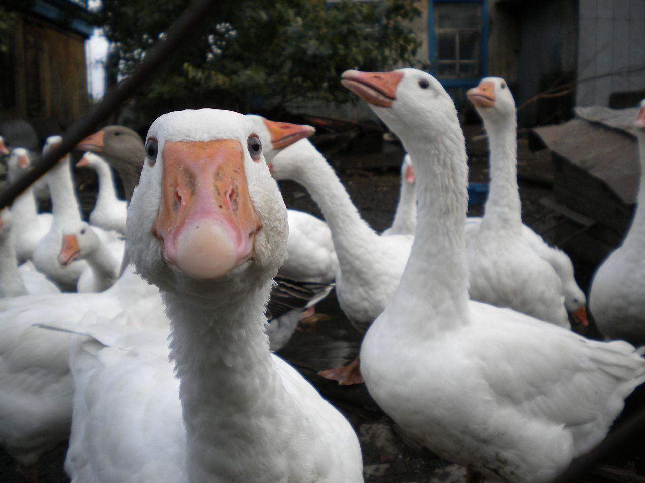 Гуси и утки устойчивы к парамиксовирусу, но являются его переносчиками