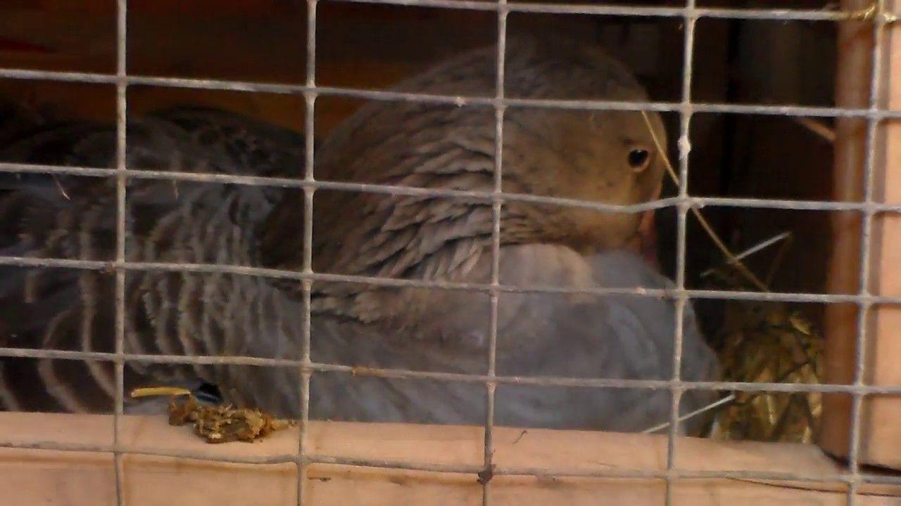 Гусыня высиживает яйца в самодельном гнезде