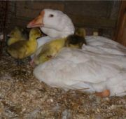 Гусыня в гнезде с гусятами