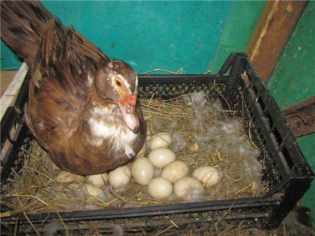 Гусыня подкладывает в гнездо свой пух