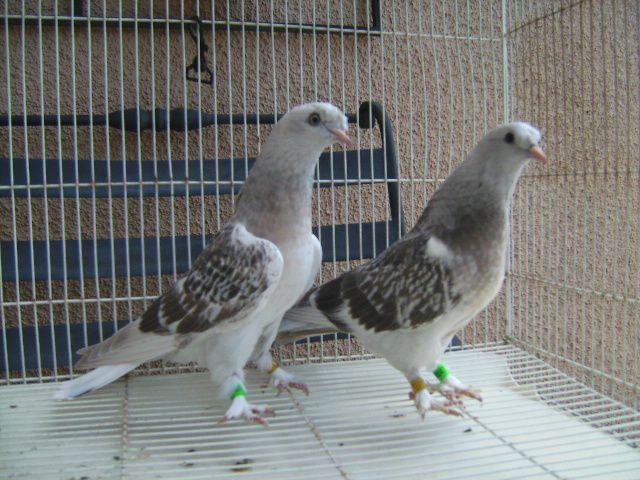 Два бойных голубя в клетке