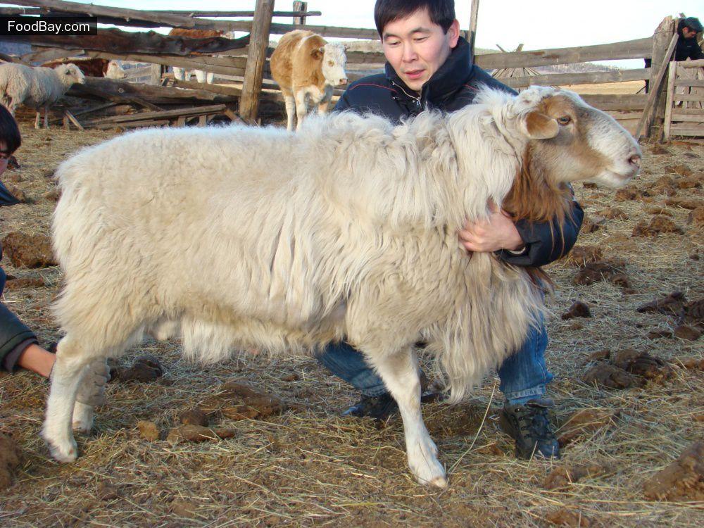 Джайдара — это курдючная порода овец, которая населяет почти все районы Узбекистана