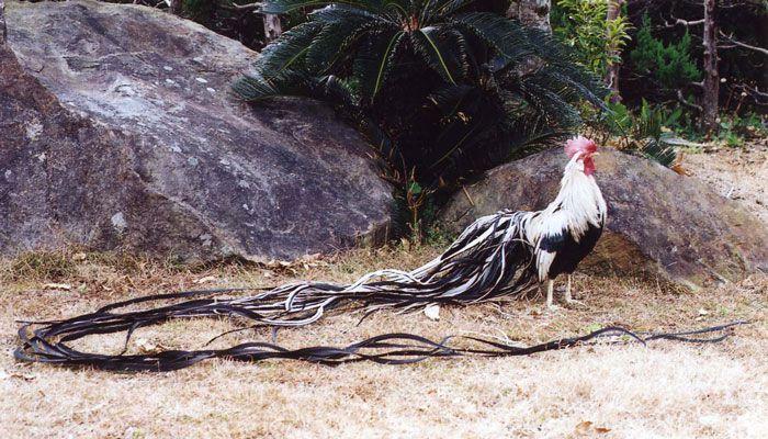 Длиннохвостые куры-фениксы