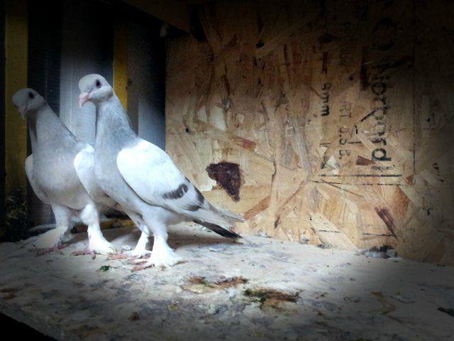 Для бойных голубей важен правильный рацион
