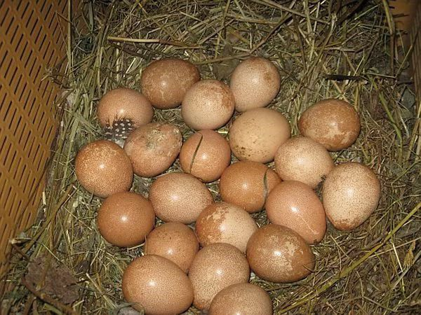 Для инкубации следует выбирать целые яйца