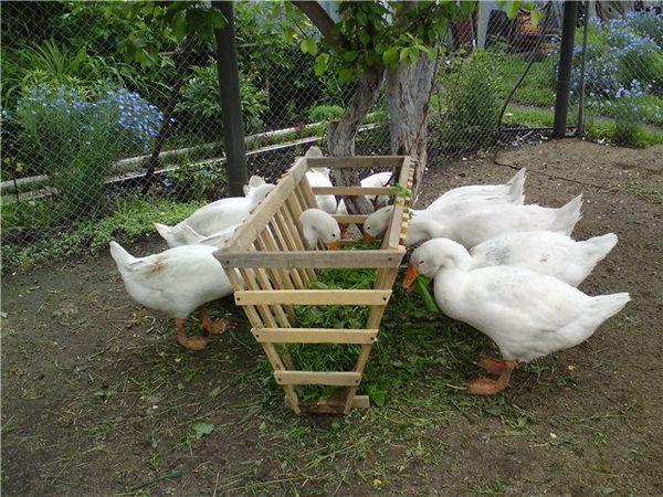 В летнее время зеленые корма составляют большую часть рациона