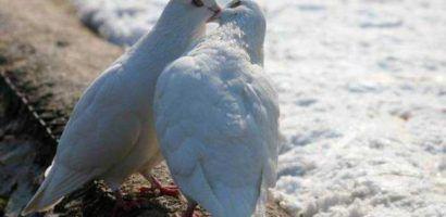 Желательноне допускать случайных спариваний голубей