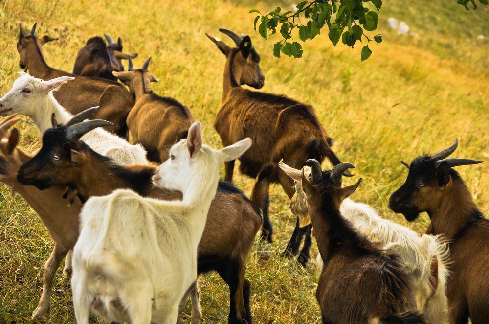 Зааненские и чешские козы на выпасе