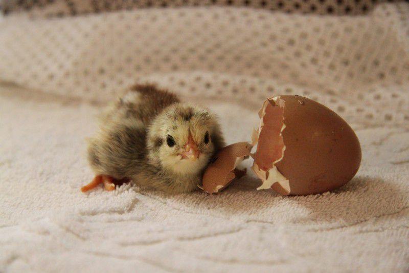 Заболевания органов ЖКТ у цыплят могут привести к летальному исходу