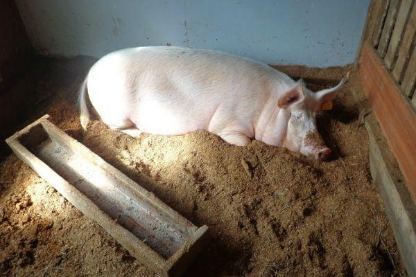 Заражение глистами может привести к падежу свиней