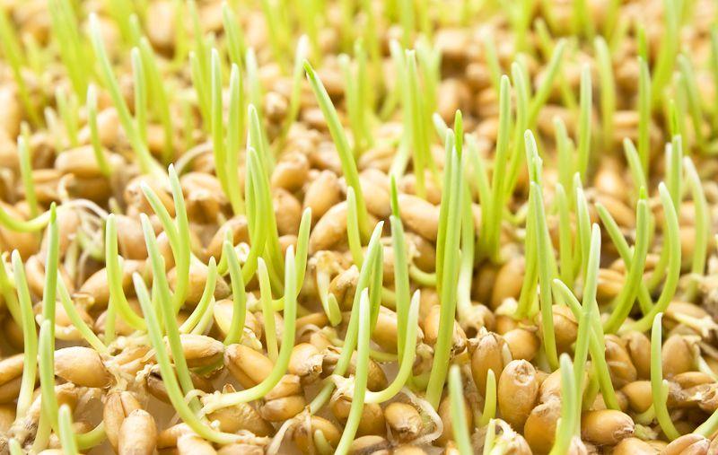 Зародыши пшеницы богаты витамином Е