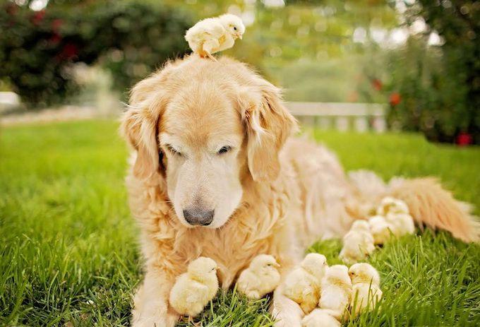 Здоровые цыплята, которым давали витаминную добавку