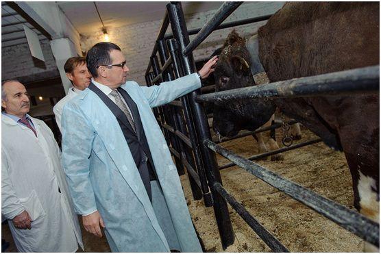 Здоровье быка-осеменителя играет большую роль в разведении