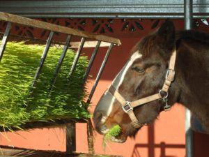 Зеленые корма содержат много полезных для организма лошади микроэлементов