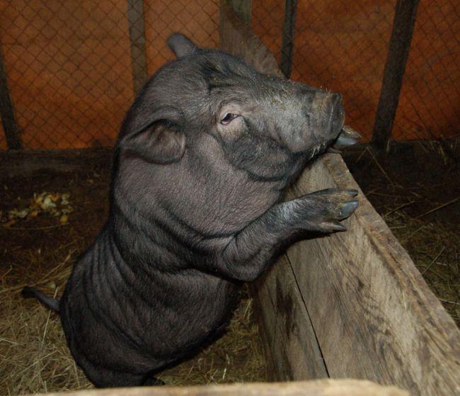 Вьетнамские свиньи хорошо переваривают зерно