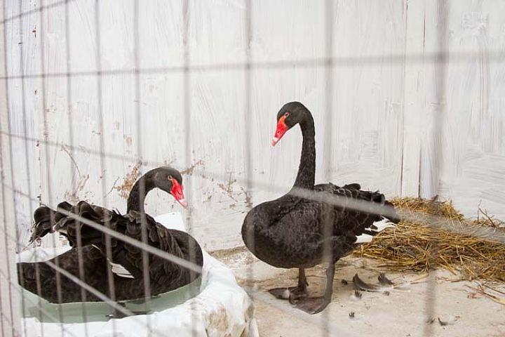 Зимой для лебедей нужно организовать теплый вольер