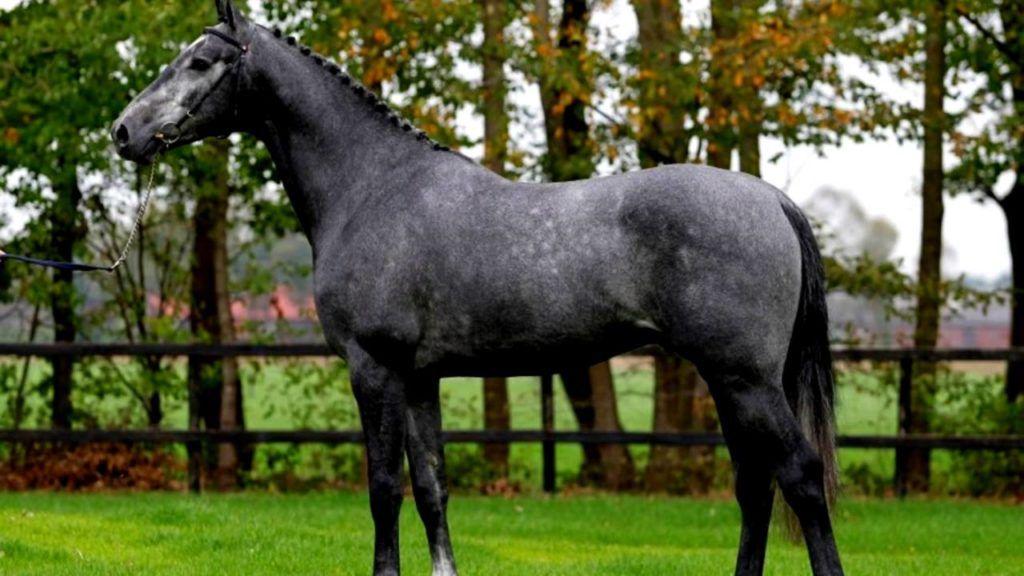Изящная лошадь породы Голландская теплокровная