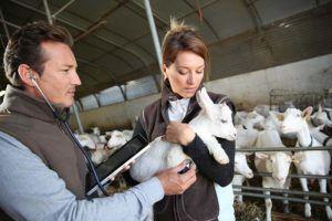 Иногда необходима помощь ветеринара во время родов