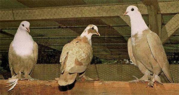 Иракские бойные голуби
