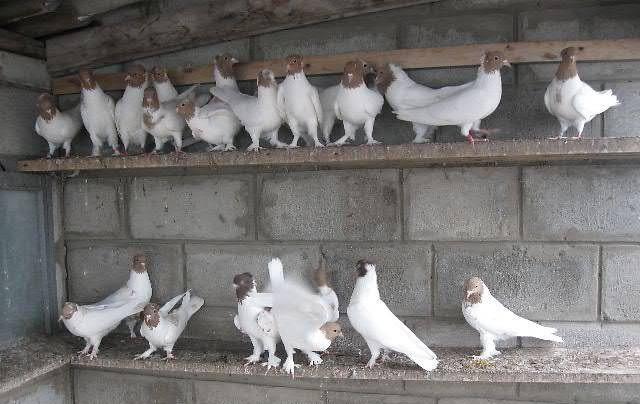 Иранские бойные голуби