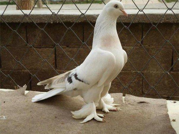 Иранский голуь, летная порода