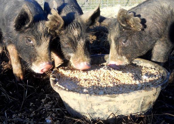 Использование экоподстилки сократит расход корма в зимнее время