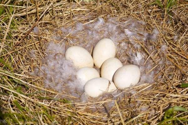 Кладка гусиных яиц