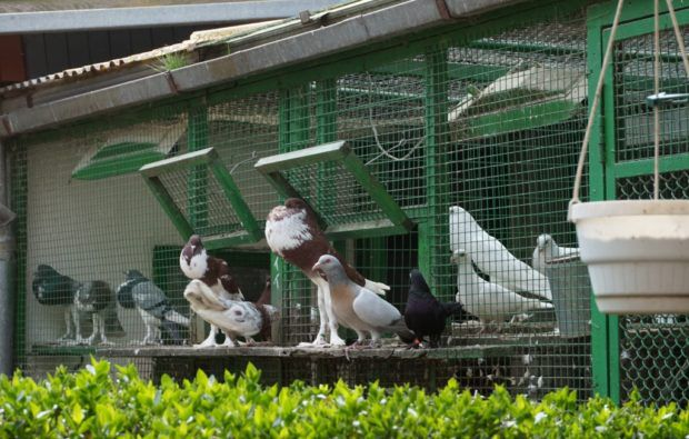 Клетки для голубей
