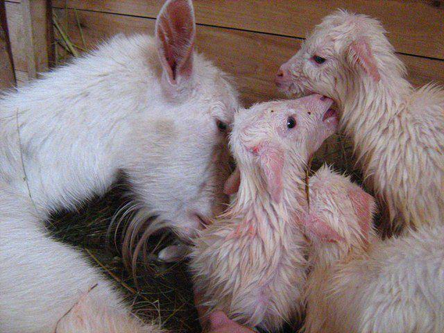 Коза с новорожденными козлятами