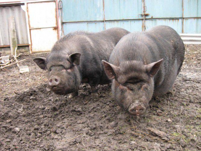 Корейские свиньи любят гулять на свежем воздухе