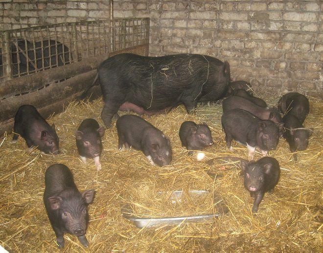 Корейские свиньи - очень заботливые матери