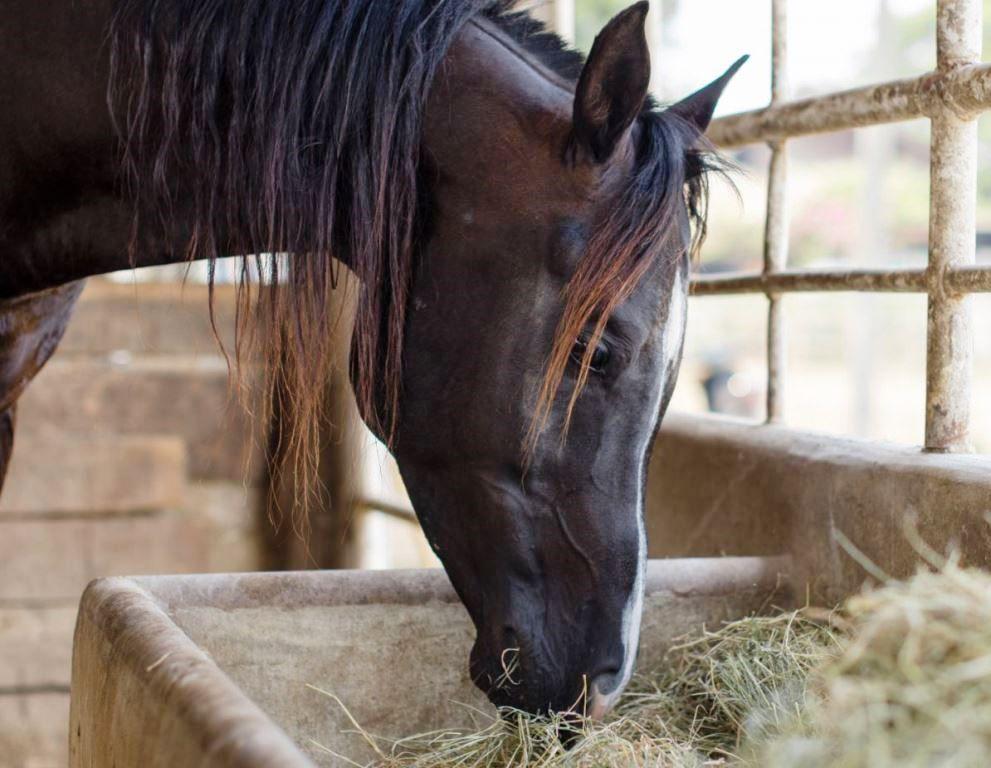 Кормление лошади сеном