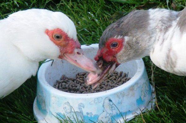 Изменение рациона также может помочь птице стать наседкой