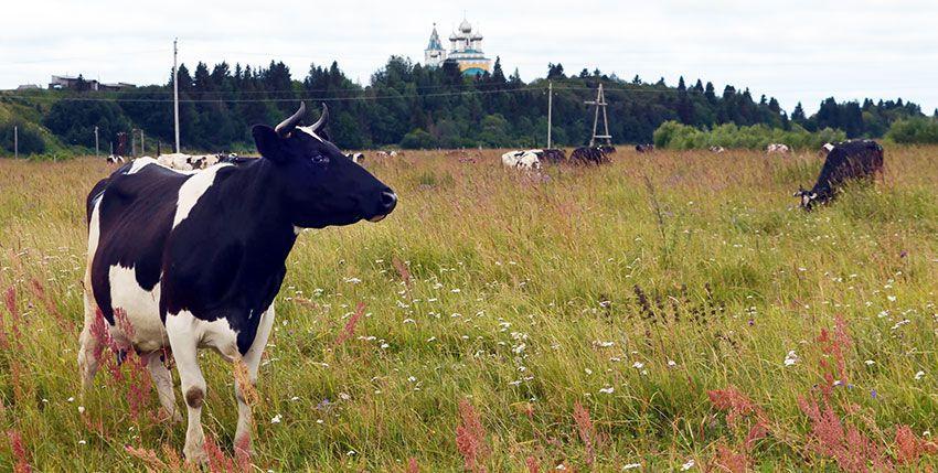Коровы черно-бело окраски