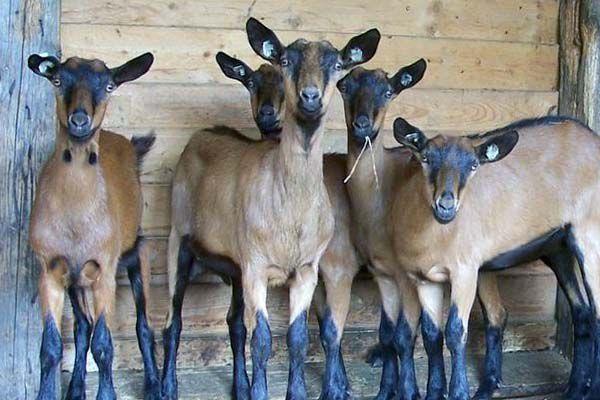 Короткошёрстные козы в России требуют особого ухода
