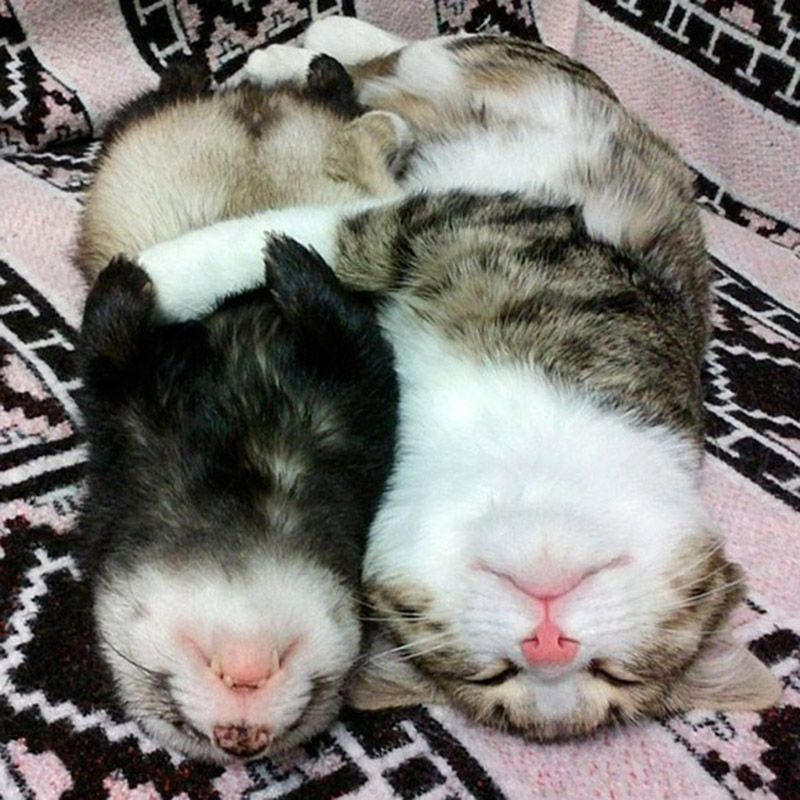 Кошка и хорёк