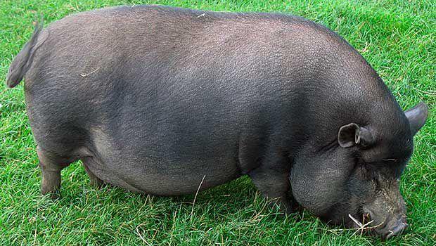 Критически важна возможность выгула для свиней